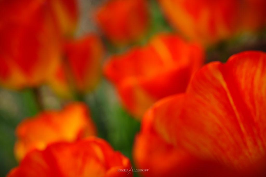 Tulips in my backyard