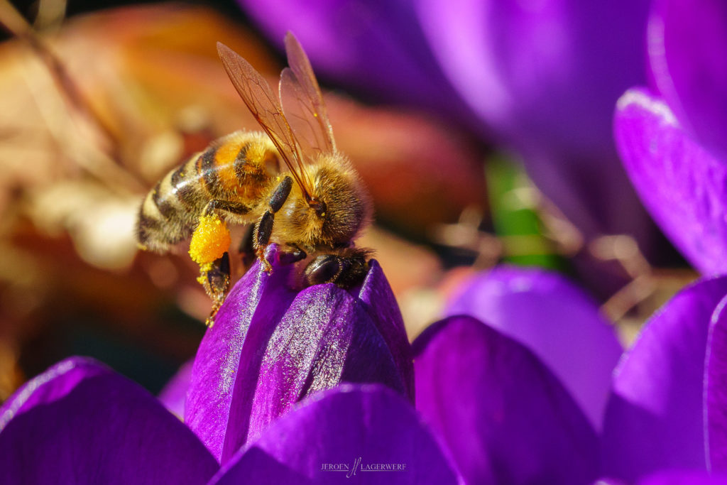 Bee on Crocus - late winter