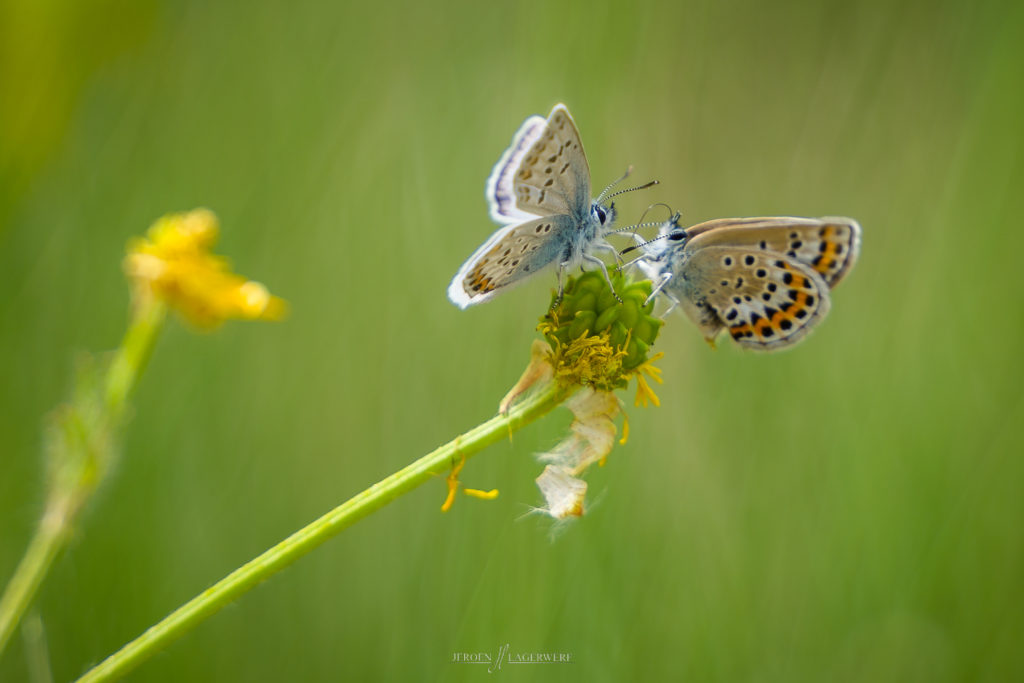 Some Lycaeninae butterflies - South of France