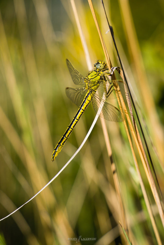 Gomphus pulchellus - early morning