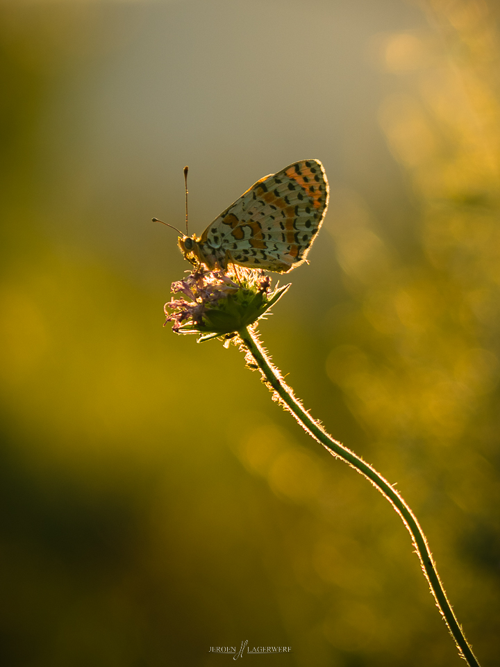 Some Lycaeninae butterflies - South of France - when sunset